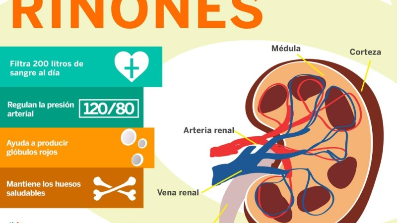 [Infografía] Los riñones son un órgano vital
