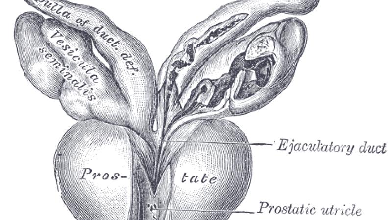 8 funciones asombrosas de la glándula prostática